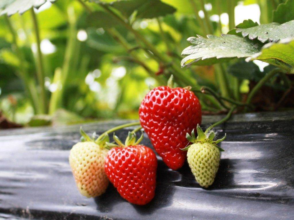 how to start strawberry plants from seeds