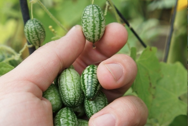 Cucamelons Growing This Strange And Wonderful Fruit